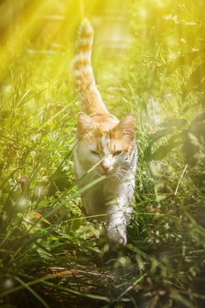 sneaks: Red cat sneaking in the grass summer day.