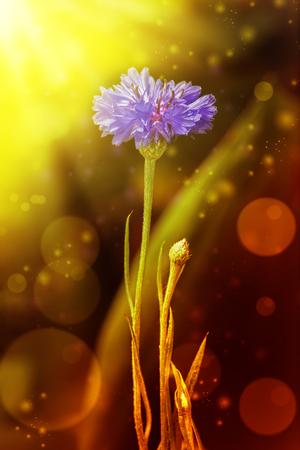bluet: Beautiful flower bluet in close-up summer day.