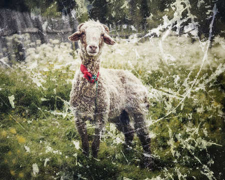 naivety: Portrait of sheep in a meadow. Photos in a grunge style.
