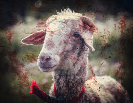 sheepfold: Portrait of sheep in a meadow with blood stains. Photos in a grunge style. Stock Photo