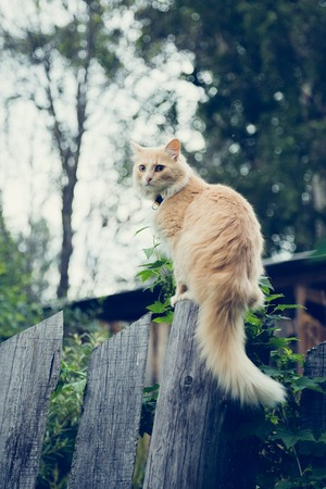 hunter playful: The red cat on the fence stalking prey. Stock Photo