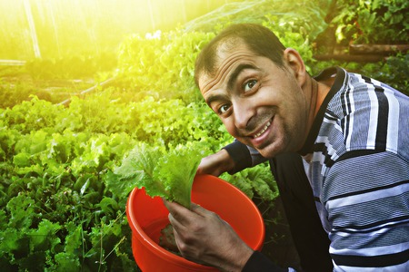 gathers: Mature smiling man gathers a crop of lettuce.