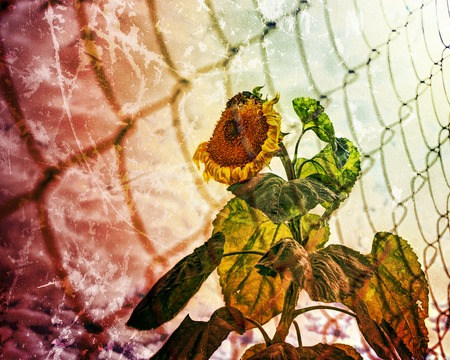 Faded sunflower for the prison fence. Photos in a grunge style. Stock Photo