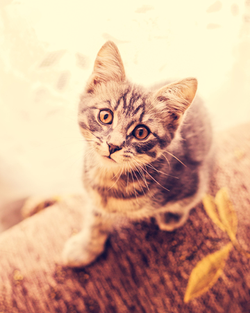 grey cat: Cute kitten looking at the camera. Stock Photo
