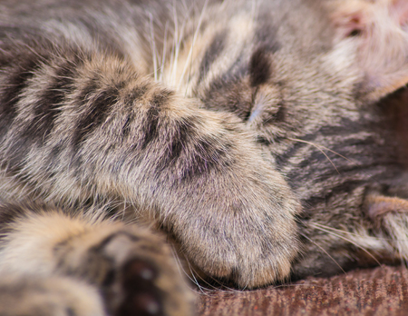 The cat sleeps closing its muzzle with its paw.