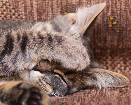 doze: The cat sleeps closing its muzzle with its paw.