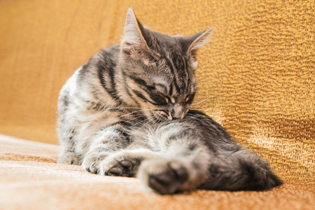 mamma: Small striped kitten basking on the couch at home.