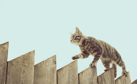 grey cat: Tabby cat walking on the fence in the village.