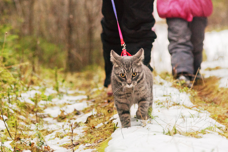 Strong cat leads a person through the forest along a snow-covered path.