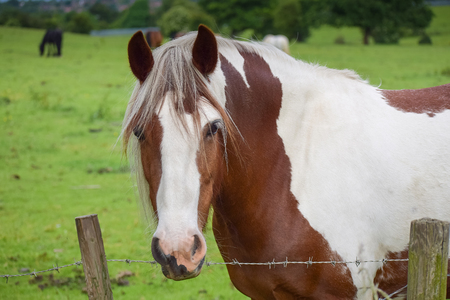 Beautiful pinto Horse head portrait in a green  meadow background looking at the camera man