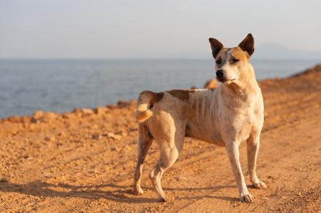 keep an eye on: Thai dog keep an eye on incoming enemies
