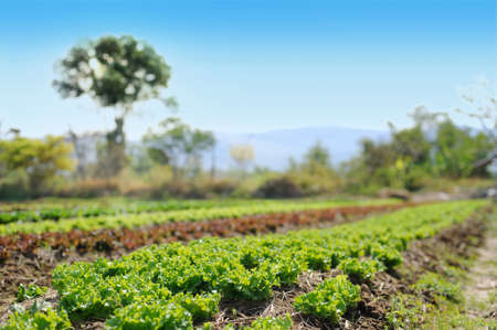 Green field of green oak lettuce and red oak lettuce in a row with mountains on a background Imagens