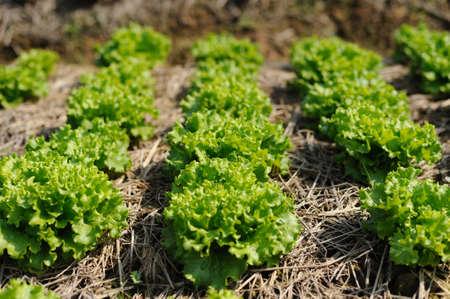 Field of green oak lettuce in a row close-up. Green oak lettuce plantation