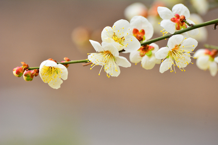 Gileotdeon back to last winter and now spring is a wanyeon, greeted them as beautiful and noble appearance, whitish bloom of white plum blossoms Stock Photo