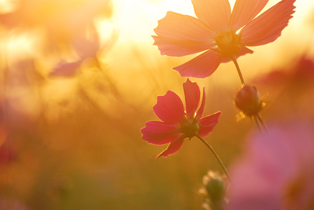 Romantic enters the water with a gorgeous autumn light color as the background color colorful cosmos flowers in a dreamlike atmosphere in the sunset