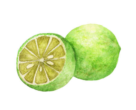 Watercolor hand drawn lime. natural food fruits illustration isolated on white background.