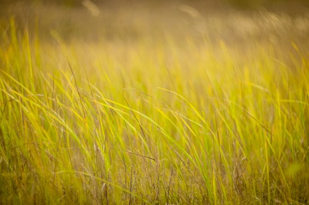 sways: autumn , green grass sways in the wind