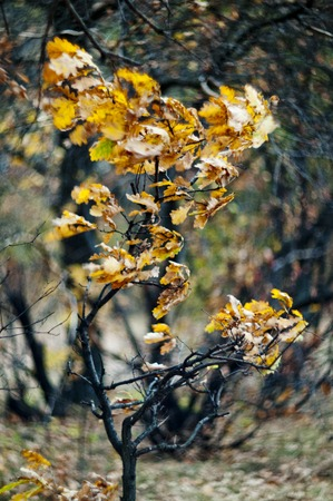 wind force: tree with yellow leaves bends under the force of the wind Stock Photo