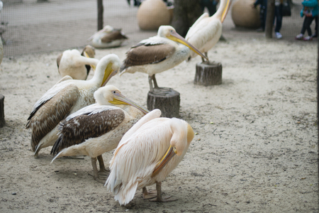 aviary: a flock of pelicans in the aviary Stock Photo