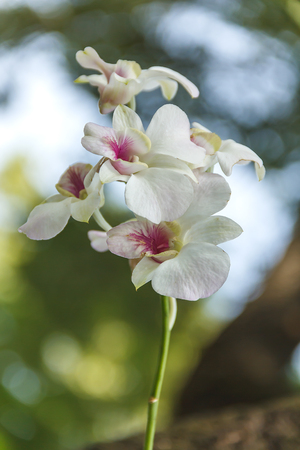 Panicle orchid white in the garden with background blur and nature bokeh background