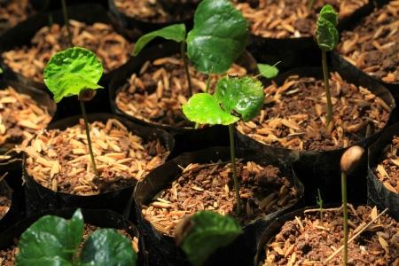 coffee crop: Coffee Crop and Coffee Beans