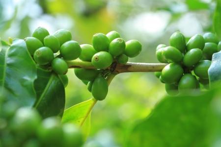 cafe colombiano: Inmaduros granos de caf? verde en el monte
