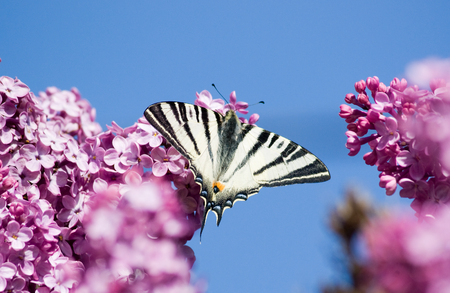 Beautiful butterfly sitting on a blossoming lilac against the sky Stock Photo