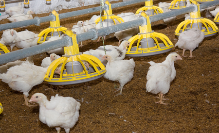Young white chickens at the poultry farm 版權商用圖片