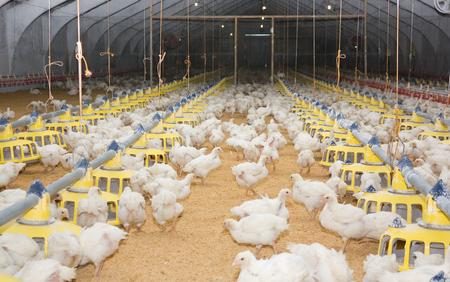 Pollos blancos jóvenes en la granja avícola Foto de archivo - 88287227