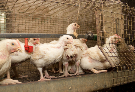 Broiler chickens in a cage at the poultry farm. Industrial production of white meat 写真素材