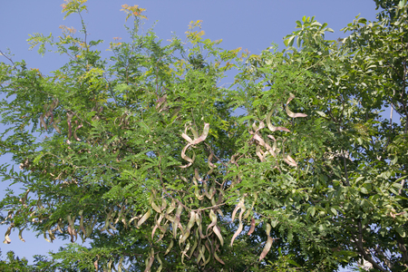 Honey Locust tree  with fruit. The honey locust (Gleditsia triacanthos), also known as the thorny locust, is a deciduous tree in the Fabaceae family