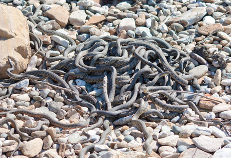 Elaphe dione, commonly known as Diones ratsnake, the steppe ratsnake, or the steppes ratsnake, is a species of snake in the family Colubridae 版權商用圖片