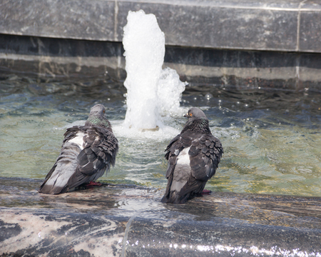 Pigeons bathing in the fountain in hot summer