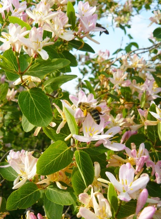 rose bush: Wild rose bush Almond