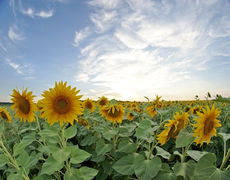 Field of sunflowers, sunset photo