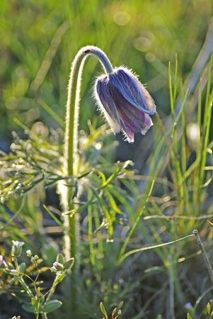 pasqueflower: Pasqueflower