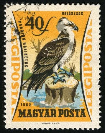 osprey: Osprey, bird