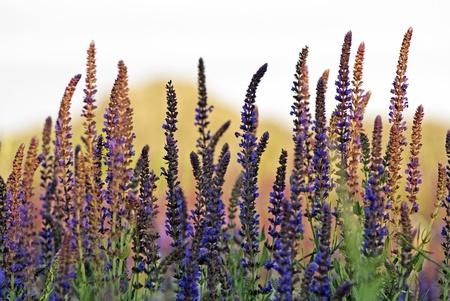 salvia: Clary Sage  Salvia sclarea