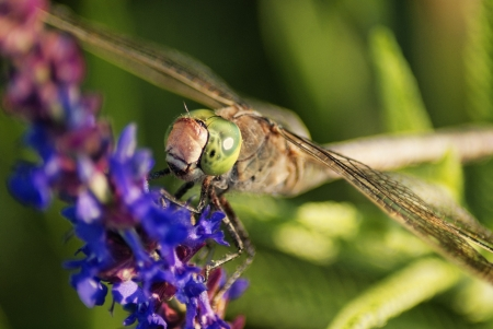 Dragonfly closeup  Clary Sage  Salvia sclarea  photo