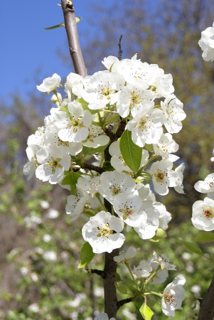 The branch of blossoming pear photo