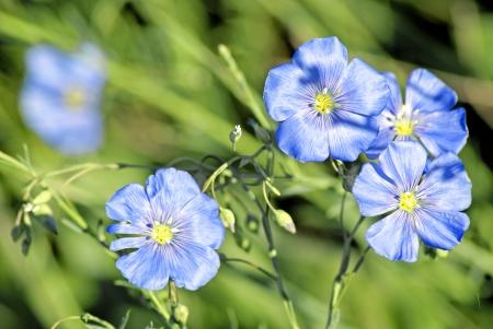 flax seeds: Linum  Linum austriacum