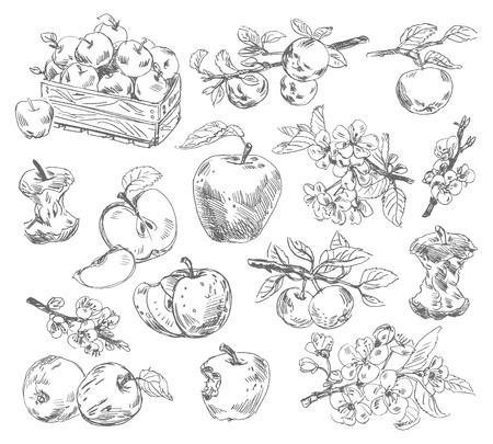 Ilustración manzanas dibujo a pulso del vector aislados sobre fondo blanco Foto de archivo - 24754061
