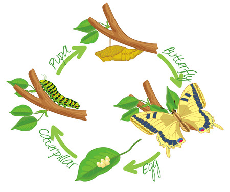 蝶の変態 写真素材 - 34915661