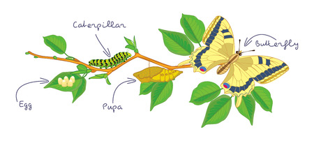 pupa: The metamorphosis of the butterfly  Illustration