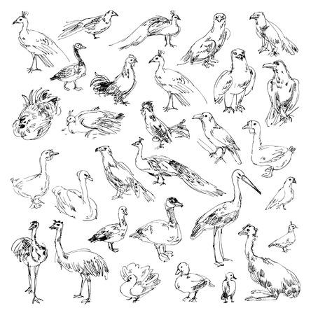 buzzard: Wild birds illustration.  Illustration