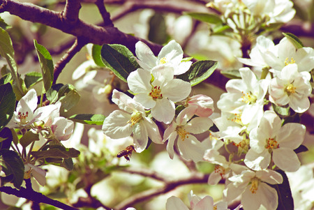 blossoming: Blossoming apple Stock Photo
