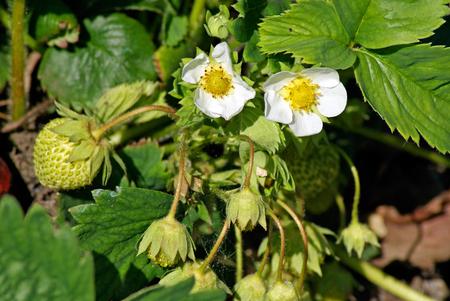 blooming: Blooming strawberries Stock Photo