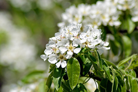 blossoming: Blossoming Pear