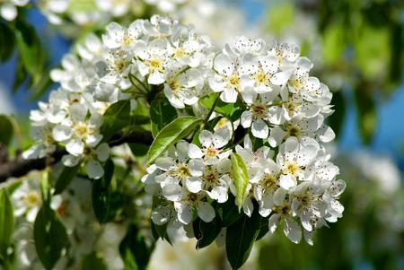 apfelbaum: Blühende Birne