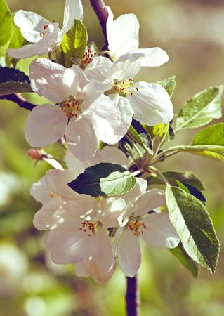 fleur de cerisier: Blossoming pomme Banque d'images